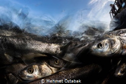 Pearl mullet fishes 2019 / 2  The incredible journey o... by Mehmet Öztabak