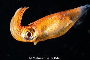 Colorful squid at blackwater dive by Mehmet Salih Bilal