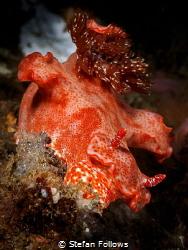 Flight of the Nudi ... !  Nudibranch - Ceratosoma graci... by Stefan Follows