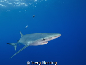 Blue shark off Azores by Joerg Blessing