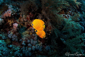 Bluecheek butterflyfish/Photographed with a Tokina 10-17 ... by Laurie Slawson