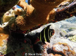 Juvenile French Angel. Taken in St. Thomas with Olympus TG-4 by Steve Dolan