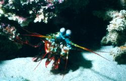 Mantis Shrimp, Blizard Ridge, Exmouth. Sea & Sea MX10 & s... by Natasha Tate