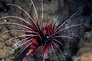 Clearfin lionfish/Photographed with a Tokina 10-17 mm fis... by Laurie Slawson