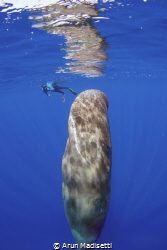 Perfect conditions out, Sleeping whale and snorkeler. Tak... by Arun Madisetti