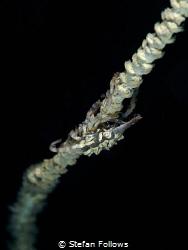 Little Creep  Xeno Crab - Xenocarcinus tuberculatus  ... by Stefan Follows