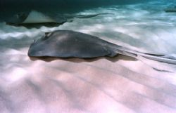 An afternoon at Sting Ray City. This photo was taken with... by Steven Anderson