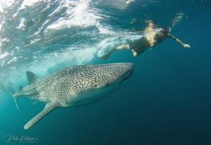 Whaleshark @ the gulf of Tadjoura, Djibouti by Pieter Firlefyn