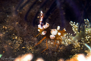 Squat (sexy) shrimp/Photographed with a Canon 60 mm macro... by Laurie Slawson