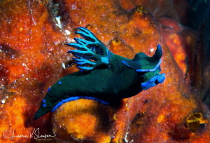 Tambja morosa/Photographed with a Canon 60 mm macro lens ... by Laurie Slawson