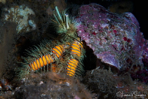 Hairy yellow hermit crab/Photographed with a Canon 60 mm ... by Laurie Slawson