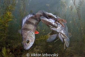 I exaggerated!(Pike X Perch) by Viktor Vrbovský