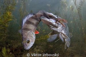 I exaggerated!(Pike X Perch) by Viktor Vrbovský