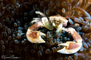 Spotted porcelain crab/Photographed with a Canon 60 mm ma... by Laurie Slawson