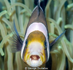 Clown fish with parasite!!! by George Touliatos