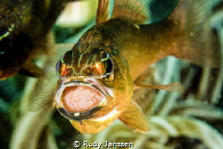 the cardinal fish with eggs  by Rudy Janssen