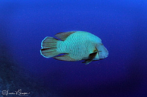 Napoleon Wrasse/Photographed with a Tokina 10-17 mm fishe... by Laurie Slawson