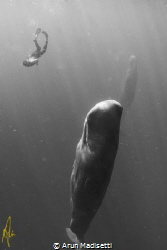 Among giants. Snorkeler and Sperm Whale. (Taken under per... by Arun Madisetti