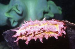 Some sort of Pink Worm. Anyone know the real name? by David Spiel
