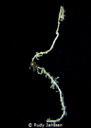 Juvenile Sea horse in Black water dive (NAD LEMBEH) by Rudy Janssen