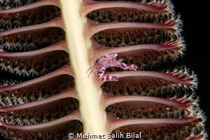 Porcelein crab on the sea pen. by Mehmet Salih Bilal