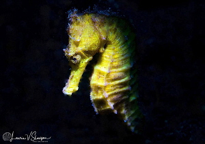 Female common seahorse/Photographed with a Canon 60 mm ma... by Laurie Slawson