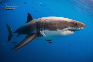 White Shark Atack, Isla Guadalupe México by Alejandro Topete