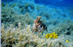 Sepia taken on a dive near Gangaro Island by Andy Kutsch