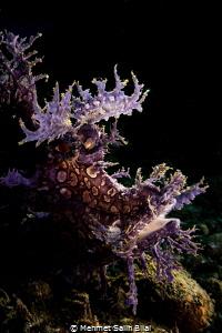 Purple rhinopias frondosa. by Mehmet Salih Bilal