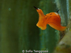 Siphopteron trigrinum - the flying duckman by Sofia Tenggrono