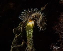 3kantige kalkkokerworm by Eduard Bello