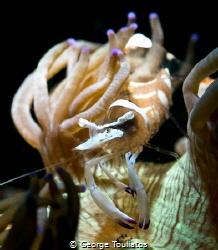 Shrimpy Shrimp!!! by George Touliatos
