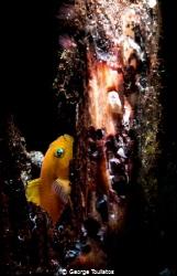 Yellow Gobie!!! by George Touliatos