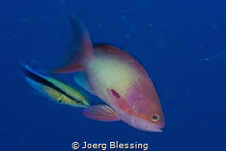 Anthias and blue streaked cleaner wrasse by Joerg Blessing