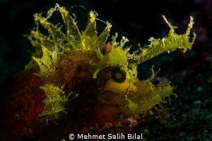 Ambon scorpionfish. by Mehmet Salih Bilal