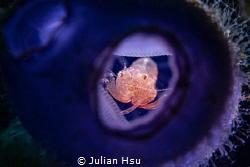 Tunicate shrimp by Julian Hsu