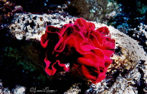 Hexabranchus sanguineus eggs/Photographed with a Tokina 1... by Laurie Slawson