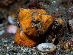 All a Matter of Scale  Orange False Stonefish - Scorpae... by Stefan Follows