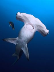 Think I may have startle this one. LOL! Hammerhead with K... by Rand Mcmeins