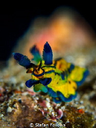 Slide  Nudibranch - Roboastra tentaculata  Bali, Indo... by Stefan Follows