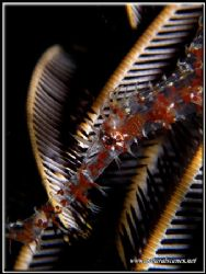 You can see the feather star through this Ornate Ghost Pi... by Yves Antoniazzo