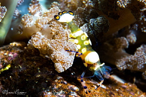 Peacock-tail anemeone shrimp/Photographed with a Canon 60... by Laurie Slawson
