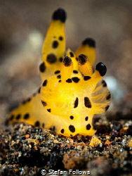 Heart of Gold  Nudibranch - Thecacera sp.  Bali, Indo... by Stefan Follows