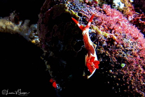 Nembrotha chamberlaini/Photographed with a Tokina 10-17 m... by Laurie Slawson