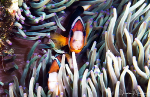 Clark's anemonefish/Photographed with a Canon 60 mm macro... by Laurie Slawson