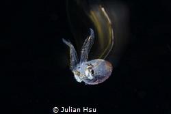 Jumping squid by Julian Hsu