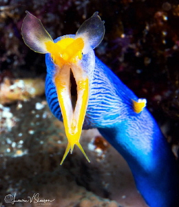Male adult ribbon eel/Photographed with a Canon 60 mm mac... by Laurie Slawson
