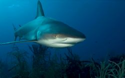 Reef Shark by Andy Lerner