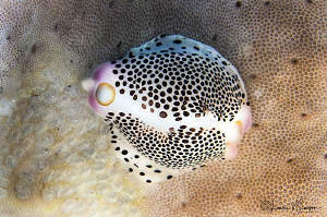 Black-spotted egg cowrie/Photographed with a Canon 60 mm ... by Laurie Slawson