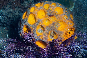 Orange sponge/Photographed with a Canon 60 mm macro lens ... by Laurie Slawson